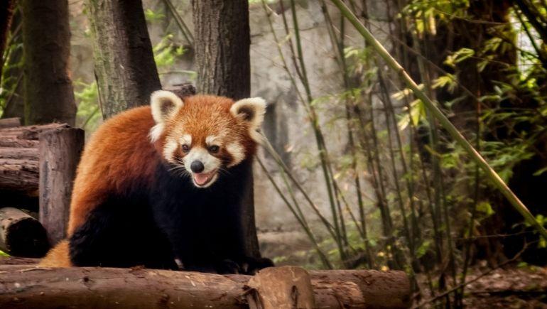 Reserva de pandas de Chengdu