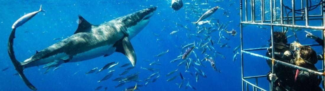 Nadar con tiburones en Sudáfrica