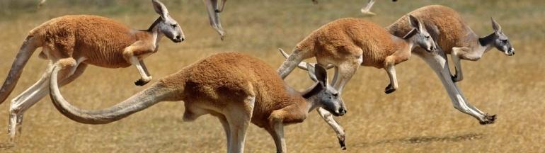 ¿Dónde ver canguros en Australia?