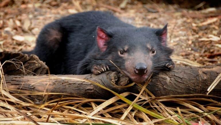 El demonio de Tasmania, un animal en peligro de extinción
