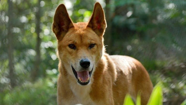 """El dingo, el """"lobo australiano"""""""