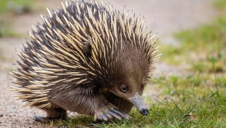 El equidna, otro monotrema de Australia