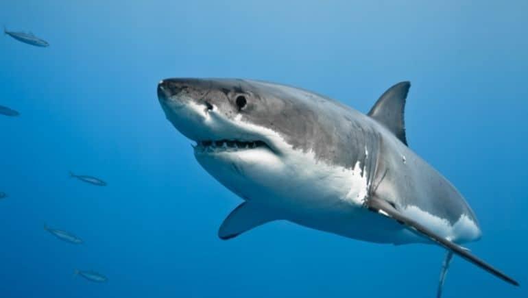 El gran tiburón blanco, el terror de los surfistas