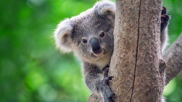 El Koala, uno de los animales de Australia más famosos