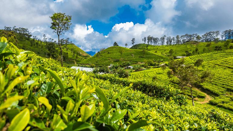 Plantaciones de té en Haputale