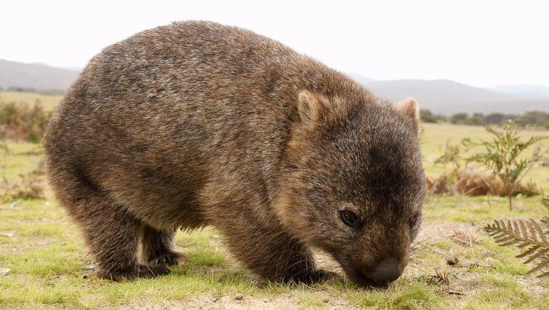 El Wombat, otro de los endémicos animales de Australia