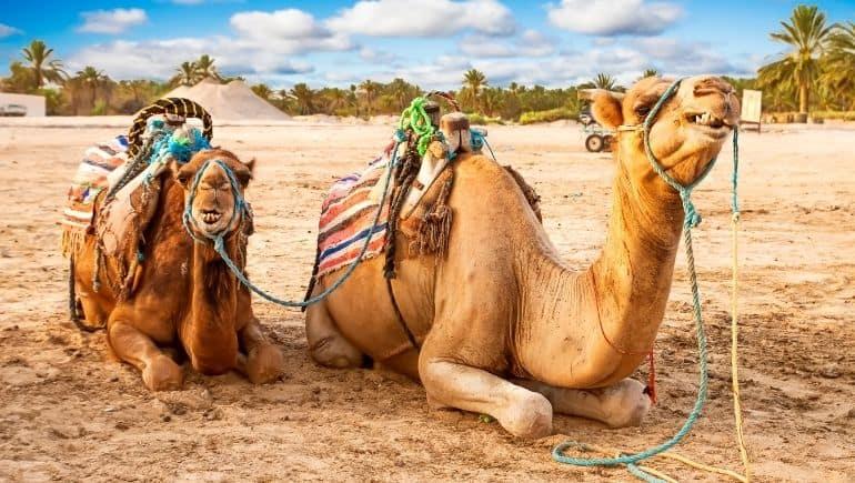 que ver en túnez - camellos desierto