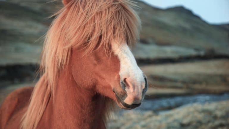 Navidad en Islandia - Caballo islandés