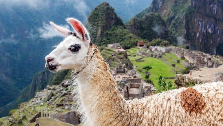 Consejos para visitar Machu Picchu  - No molestar a las llamas o alpacas